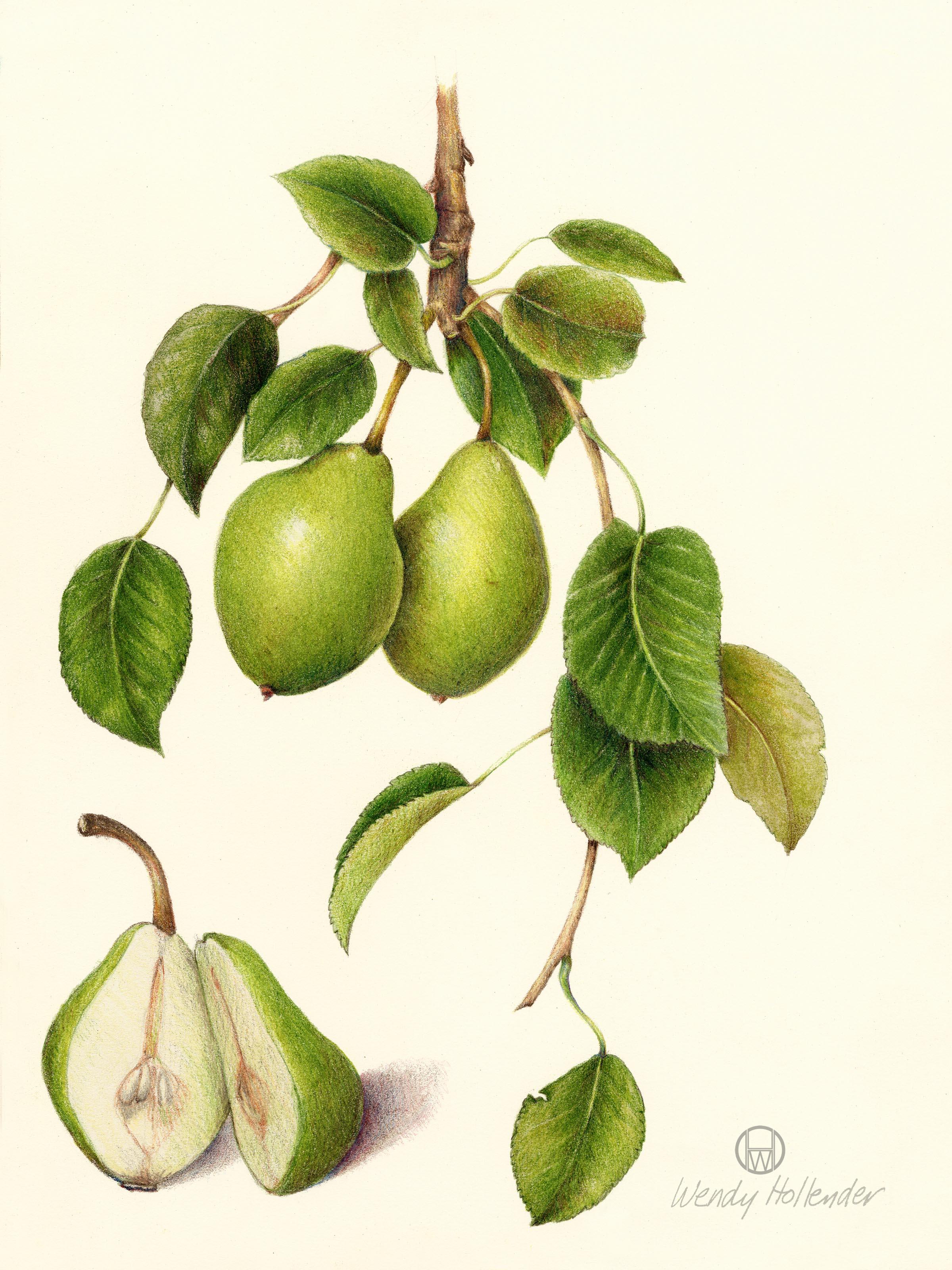 The Secret Life of Plants: botanical artist Wendy Hollender | Roll Online