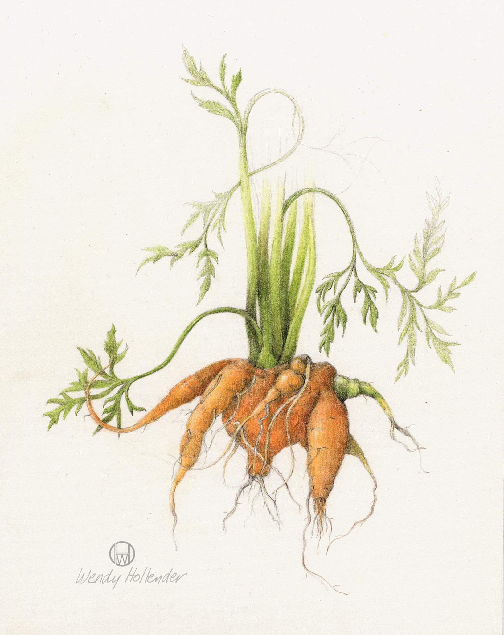 Botanical Drawing Carrot