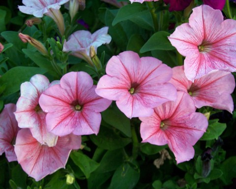 Annuals: Fleeting but Fabulous