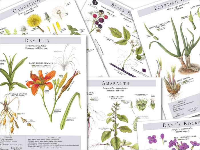 Botanical illustrations for Foraging and Feasting