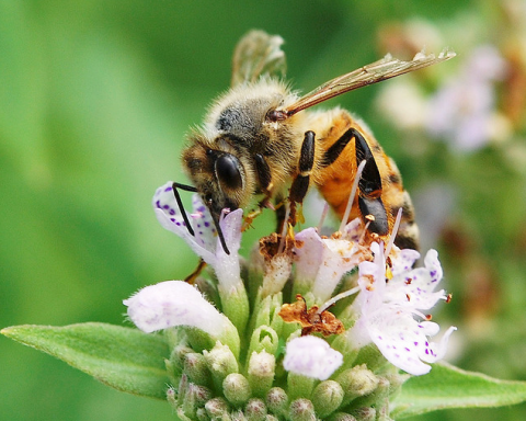 An Inspired Meditation on Gardening with Honeybees inMind