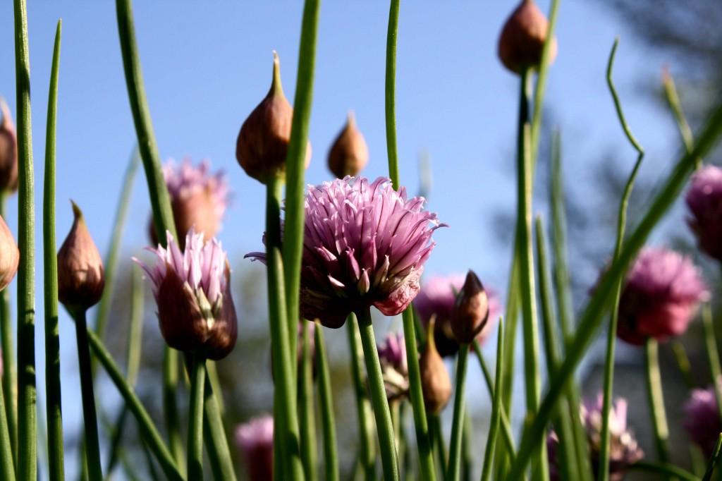 flowering-chives