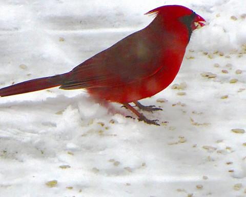 mr.cardinal.sm2