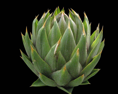 artichoke-giant-green