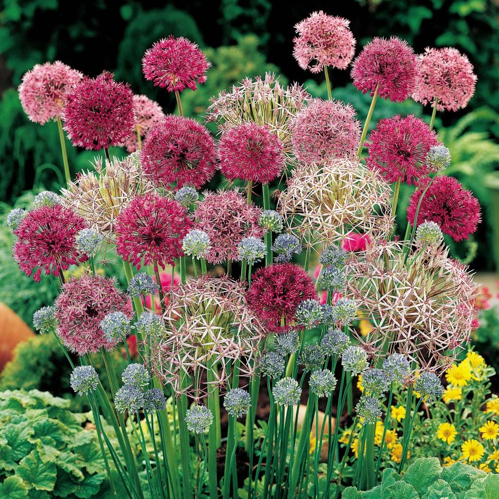 Allium mix2