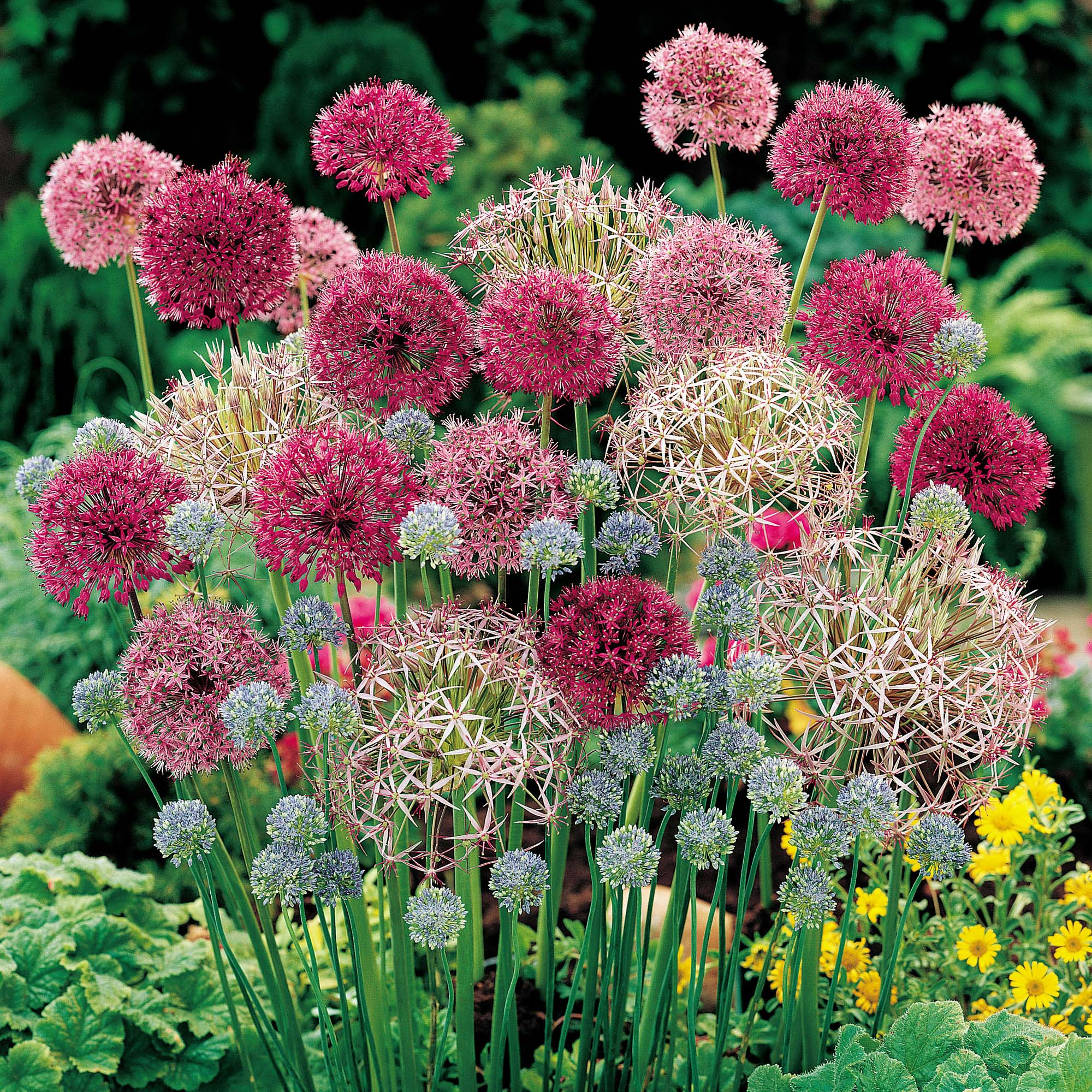 The Versatile Allium Always A Standout Roll Online