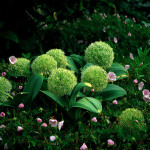 SMALL-allium-karativense-ivory-queen-john-scheepers-bulbs