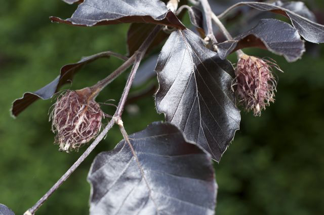 Purple Weeping Beech and nuts