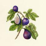 Fig-Ficus carica