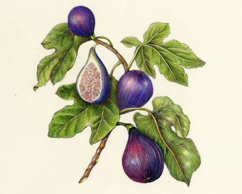 "The Art <span class=""amp"">&</span> Practice of Botanical Drawing"