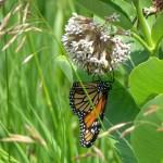 Monarchs.2crop