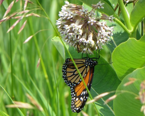 Milkweed and The Great Migration
