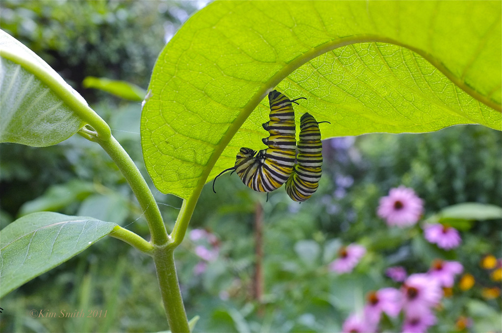 Monarch butterfly-caterpillars-common-milkweed-c2a9kim-smith-2011