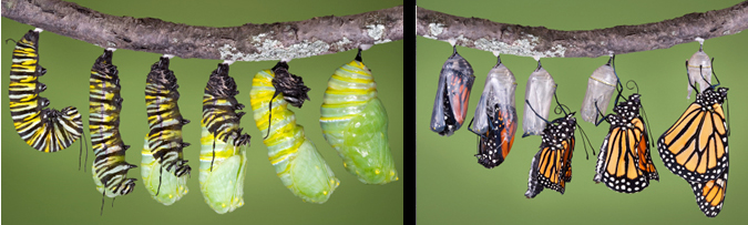 caterpillar-monarch-emerging
