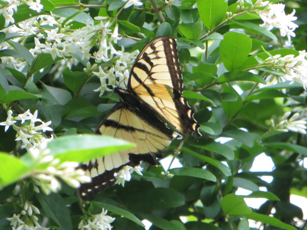 Male Eastern Tiger Swallowtail on Privet.