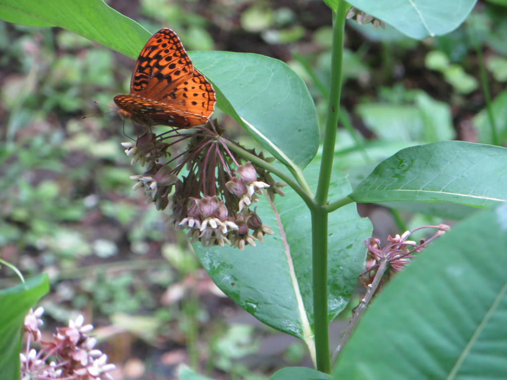 Fritillary Butterfly on Common Milkweed.