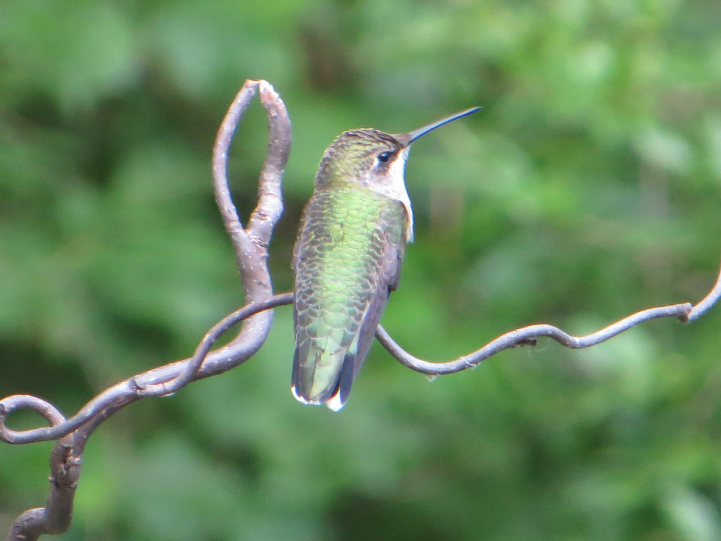A Hummingbird perched on a branch